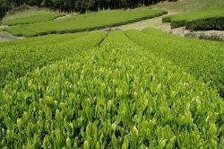 Green Tea Harvests in Japan