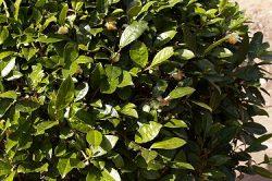 About the Tea Plant: Camellia Sinensis
