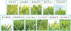Japanese tea cultivar list
