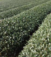 Unkai tea cultivar