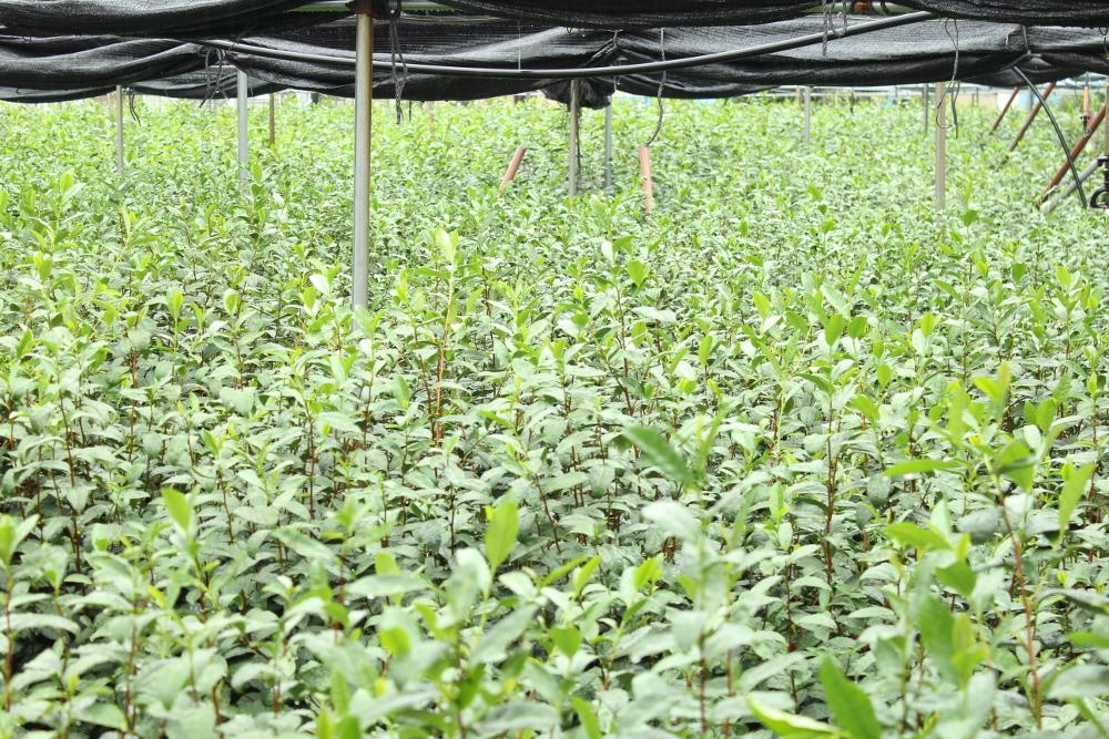 Okunoyama tea field