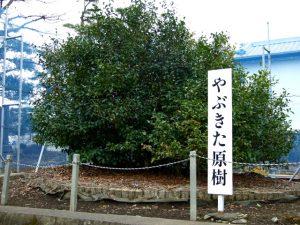 yabukita original tea plant